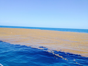"""""""What is the ocean unbounded by a shore? The Sargasso Sea, off the eastern coast of the US. The wheat-colored Sargassum weed is the only thing that grows here."""""""