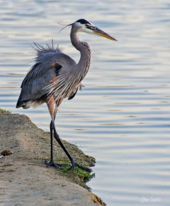 A Blue Heron Strutting This was taken on March 8, 2015 at around 7 in the morning. This heron decided to pose for me, and this is one of the pictures he let me take.