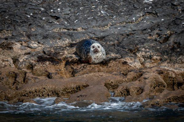 """Seal on the Run,"" A Short Story by Ewa Mazierska"