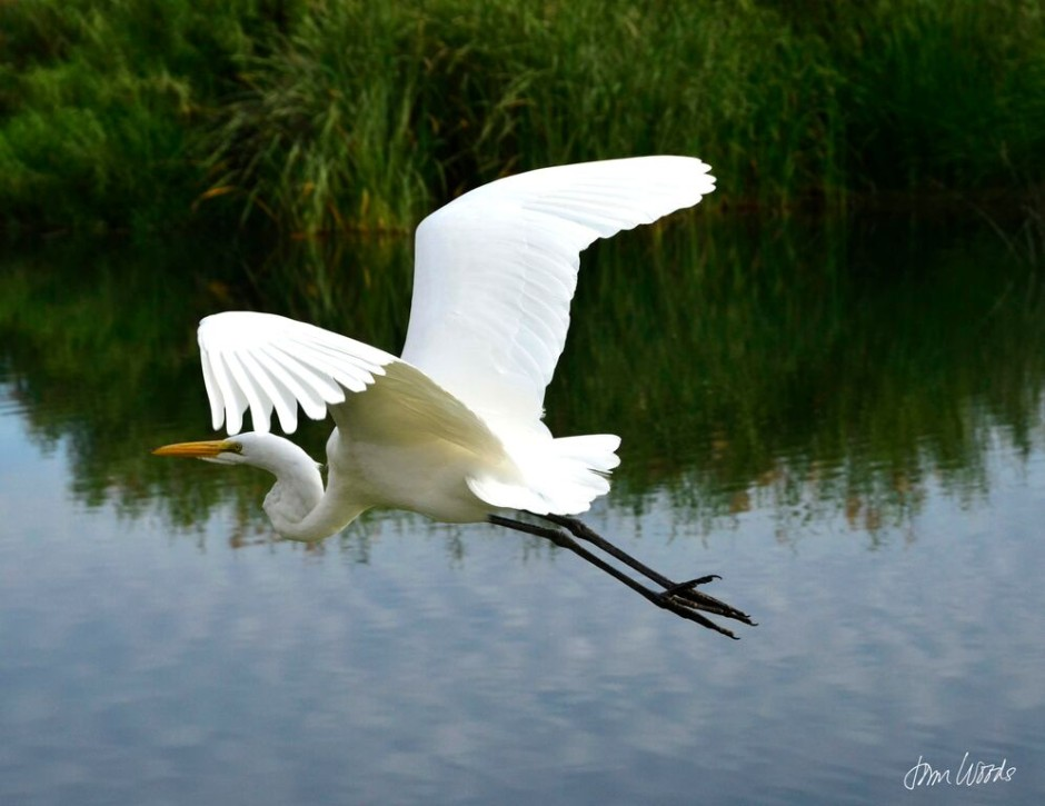 Egrets and Herons: The Photography of John Woods