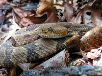 Rattlesnakes, Fictional and Real