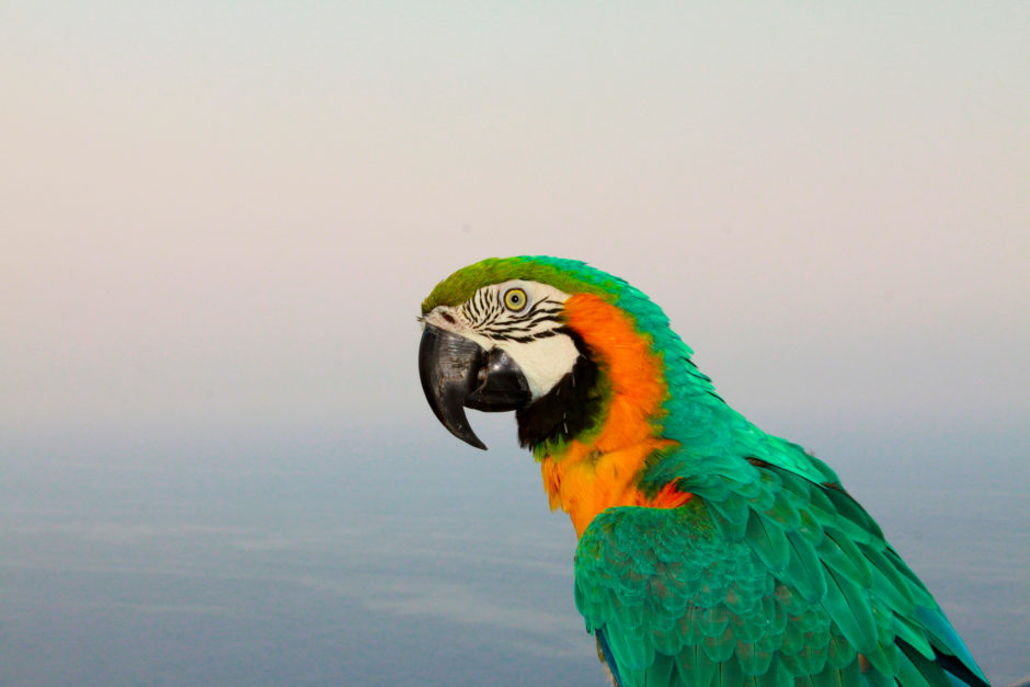 """Thinking About Macaws"" by Courtney Justus"