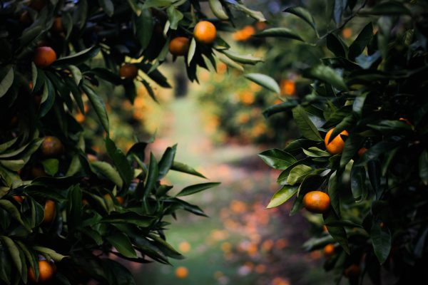 """Botticelli's Oranges,"" The Poetry of Reed Venrick"